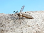 Tipula paludosa